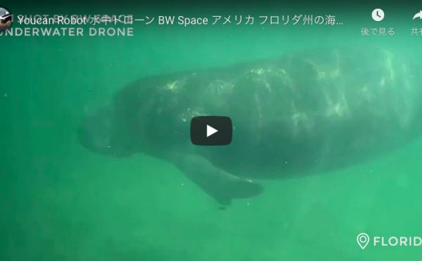 水中ドローン「BW Space」で野性のマナティーを撮影成功