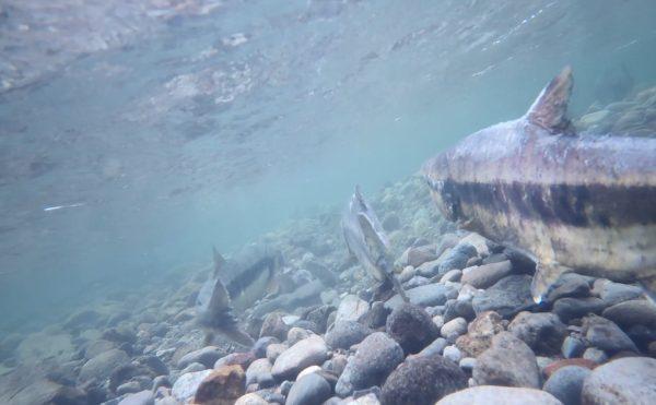 水中ドローンBW Space Proが北海道古平郡古平町の古平川で、遡上してくる鮭を撮影